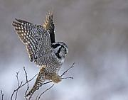 White Feather Posters - Landing Hawk Owl Poster by Tim Grams