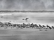 Flying Seagulls Framed Prints - Landing in a Blur Framed Print by Betsy A Cutler East Coast Barrier Islands