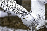 Rural Snow Scenes Prints - Landing of the snowy owl where are you Harry Potter Print by LeeAnn McLaneGoetz McLaneGoetzStudioLLCcom
