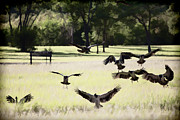 Magpies Photos - Landing Zone by Douglas Barnard