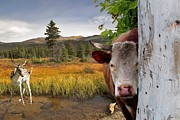 Landscape - Animals - Peek A Boo Cow Print by Liane Wright