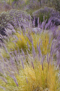 Grass - Landscape With Purple Grasses by Ben and Raisa Gertsberg