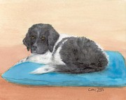Newfoundland Art Paintings - Landseer Newfoundland Dog Pup Pillow Cathy Peek Art by Cathy Peek