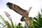 Tim Hester - Langkawi Eagle