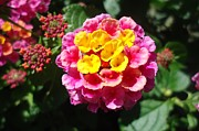 Paula Talbert - Lantana Blooms and Buds