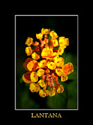 Flowerbud Framed Prints - Lantana Framed Print by David Weeks