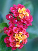 Rosettes Photos - Lantana by Henrik Lehnerer