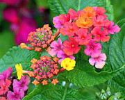 Buds Art - Lantana by Rona Black
