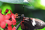 Passiflora Digital Art Metal Prints - Laparus doris Butterfly Metal Print by Optical Playground By MP Ray