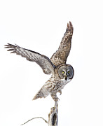 Rare Bird Prints - Lapland Owl on White Print by Mircea Costina Photography