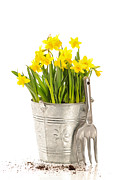 Gardening Tools Posters - Large Bucket Of Daffodils Poster by Christopher and Amanda Elwell