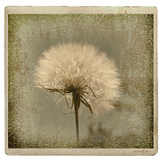 Nature Study Photo Prints - Large Dandelion Print by Linda Olsen