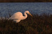 Jason Bates - Large Egret - Sunset...