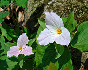 Spring Flowers - Large-flower Trillium DSPF205 by Gerry Gantt