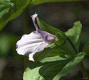 Gerry Gantt - Large-flower Trillium...