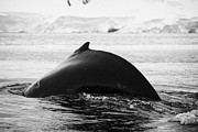 large male Humpback whale with arched back diving in Wilhelmina Bay Antarctica Print by Joe Fox