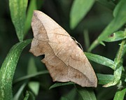 Doris Potter - Large Maple Spanworm Moth