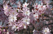 Oriental Cherry Tree Framed Prints - Large Pink Cherry Blossoms Framed Print by Luv Photography