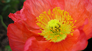 Peach Prints - Large Poppy Print by Cheryl Young