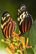 Flying Photos - Large tiger butterflies by Elena Elisseeva