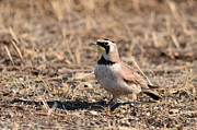 Eremophila Alpestris Prints - Lark on Gravel Print by Janelle Streed