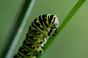 Larva...caterpillar  Print by Larry Trupp