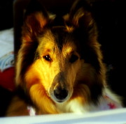 Dog Photographs Prints - Lassie Come Home Print by Karen Wiles