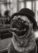 Greeting Card Photo Posters - Last Call Pug Greeting Card Poster by Edward Fielding