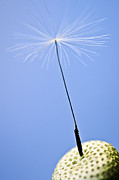 Weed Photo Metal Prints - Last dandelion seed Metal Print by Elena Elisseeva