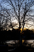 Bare Trees Posters - Last Golden Glow Long Pond Sunset Poster by Michelle Wiarda