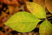 LeeAnn McLaneGoetz McLaneGoetzStudioLLCcom - Last Green Leaves