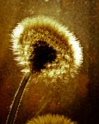Dandelion Photos - Last light of day by Bob Orsillo