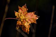 Last Maple Leaf Print by LeeAnn McLaneGoetz McLaneGoetzStudioLLCcom