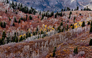 Payson Prints - Last of the Aspen Color Print by Robert Bales