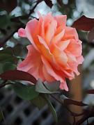 Leslie Hunziker - Last of the Roses