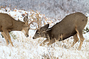 Mule Deer Buck Photograph Photos - Last One Standing by Jim Garrison