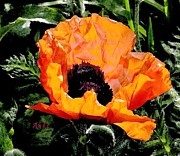 Anke Wheeler - Last Red Poppy of Summer
