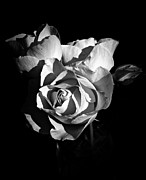 Neurotic Images Photography Prints - Last Roses of Summer BW Print by Chalet Roome-Rigdon