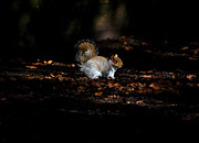 Peter Nix - Late evening squirrel