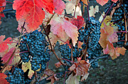 Kent Sorensen - Late Harvest Grapes