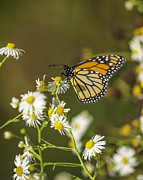 Fox Valley Photos - Late Monarch by Thomas Young