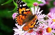Painted Lady Butterflies Prints - Late Summer Painted Lady Print by Marilyn Hunt