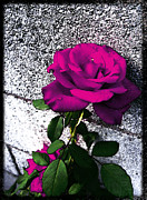 Deep Pink Prints - Late Summer Rose - Raspberry Red Print by Shawna  Rowe