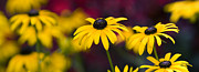 Color Yellow Posters - Late Summer Rudbeckia  Poster by Tim Gainey