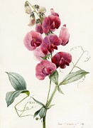 Still Life Drawings Prints - Lathyrus latifolius Everlasting Pea Print by Louise D Orleans