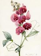 Lathyrus Latifolius Everlasting Pea Print by Louise D Orleans