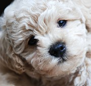 Maltese Dogs Photos - Latte Maltese Puppy by Lisa  DiFruscio