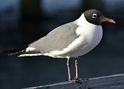 Chanda Henne Posters - Laughing Gull Poster by Chanda Henne