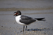 John Greco - Laughing Gull No. 2