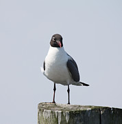 Boat Slip Posters - Laughing Gull Posing For Photo Poster by John Telfer